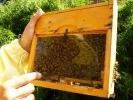Bienenkönigin F1, Bienen, Königin begattet 2018
