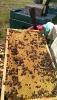 Bienenvölker DNM zu verkaufen (Segeberger Linie)