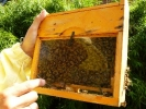 Inselkönigin mit Zuchtkarte, Bienenkönigin, Insel, Bienen Kö